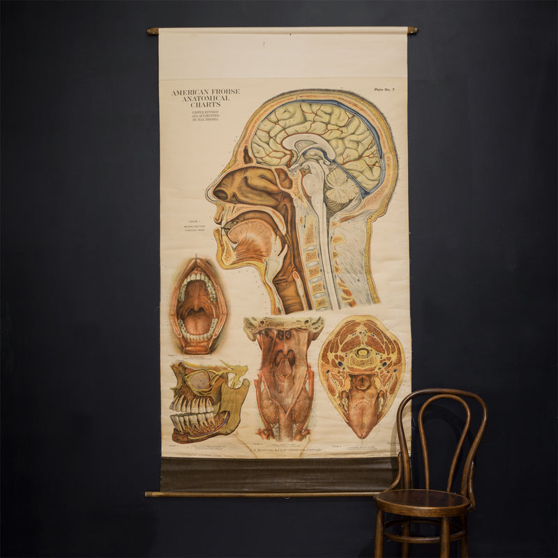 American Frouse Anatomical Chart c.1918