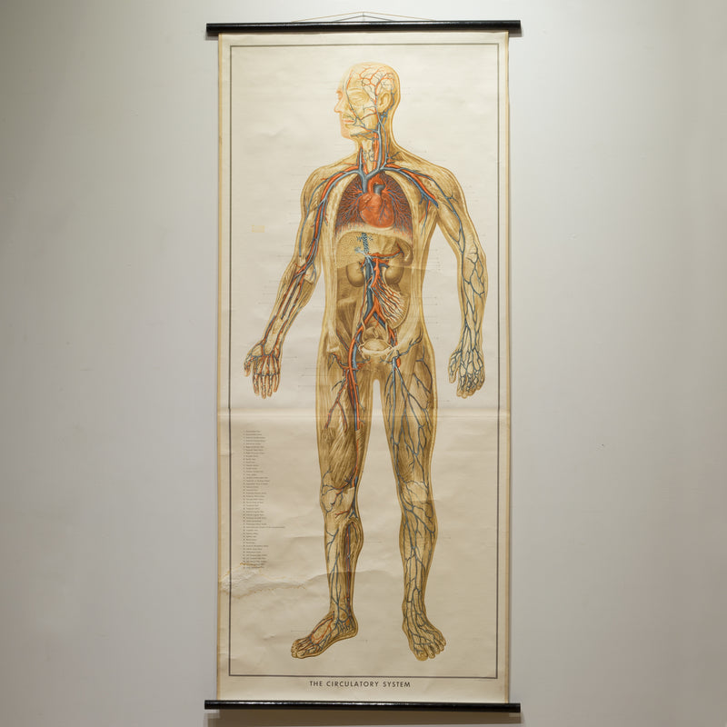 Vintage Circulatory System Anatomical Chart c.1952