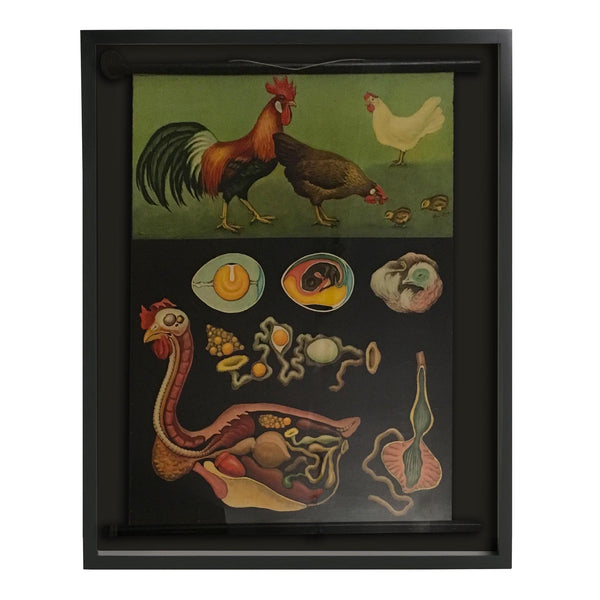 Shadowboxed German Scientific Scroll of Chicken Anatomy c. 1940