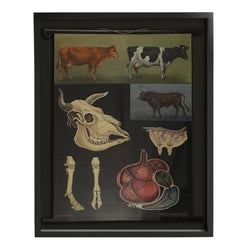 Shadowboxed German Scientific Scroll of Cow Anatomy c.1940