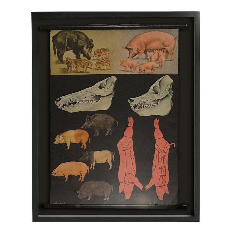 Shadowboxed German Scientific Scroll of Pig Anatomy c.1940