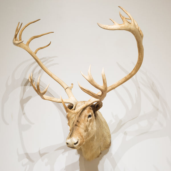 Barren Ground Caribou Taxidermy c.1970