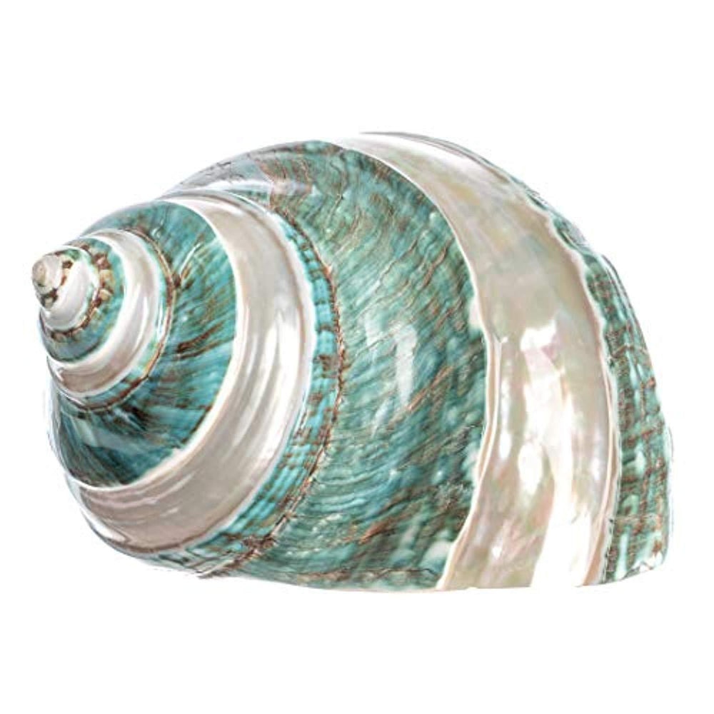 Jade Green Banded Turbo Shell | 1 Turbo Shell 4-4.5""