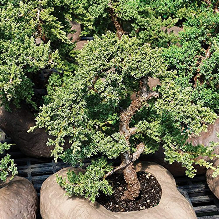 Green Mound Juniper Outdoor Bonsai Tree - 7 Years Old