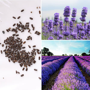 Flower Seed Plant Seed Lavender Lily Seed Garden Pot Accessories