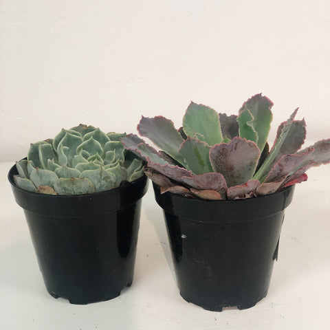 3-4 Inch Succulent and Cactus