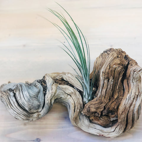 Air Plant Medium Juncea
