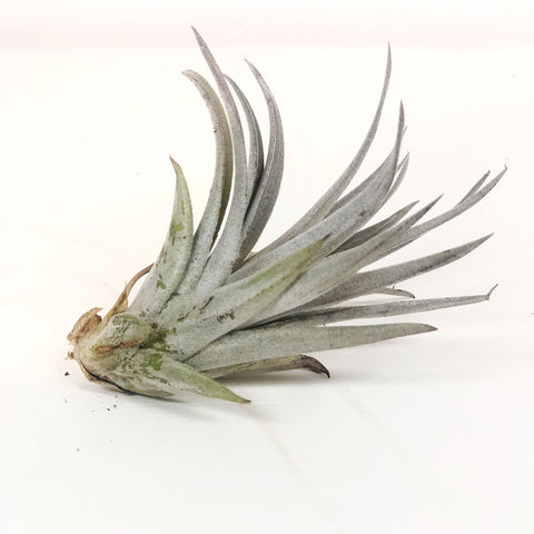 Air Plant Small