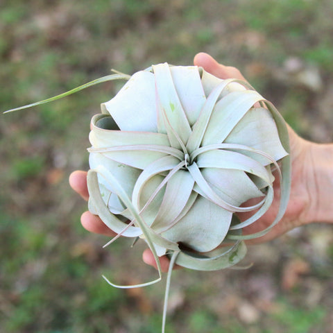 Small Xerograpica Air Plant