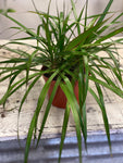 Dragon Tree Dracena Marginata- Local Only
