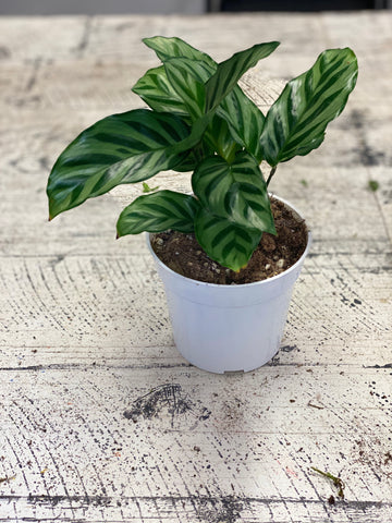 Pin Stripe Calathea ornata