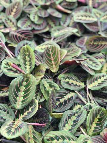 Prayer Plant Maranta Red Line