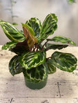 Calathea veitchiana- Local Only