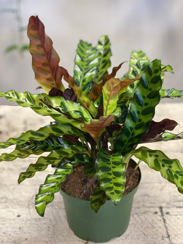 Rattlesnake Calathea- Local Only