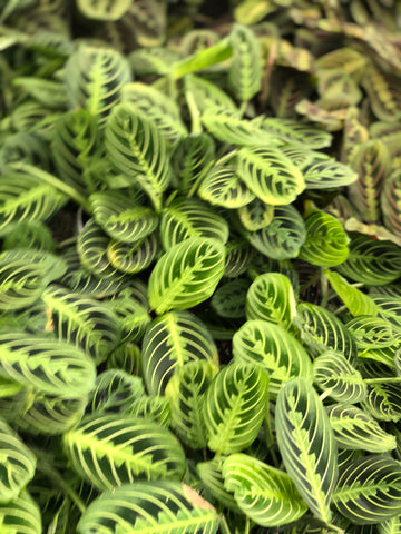 Prayer Plant Maranta Green