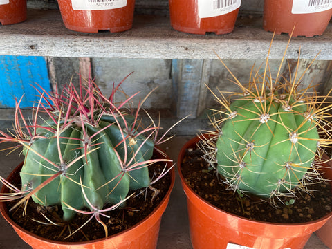 6 inch Cacti Shipped