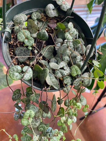 Ceropegia woodii String of Hearts