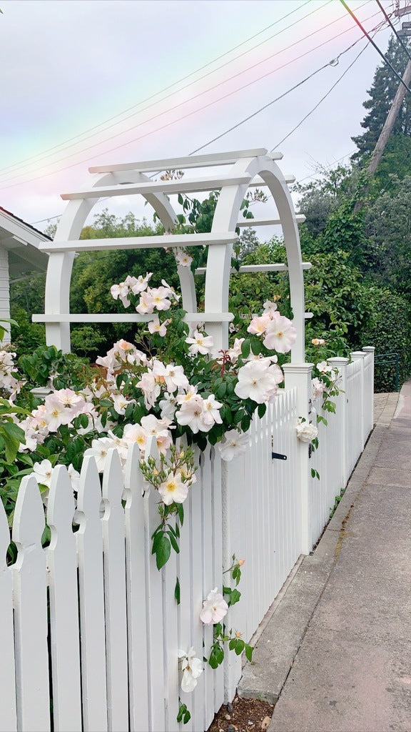 White rose bush growing around a white picket fence