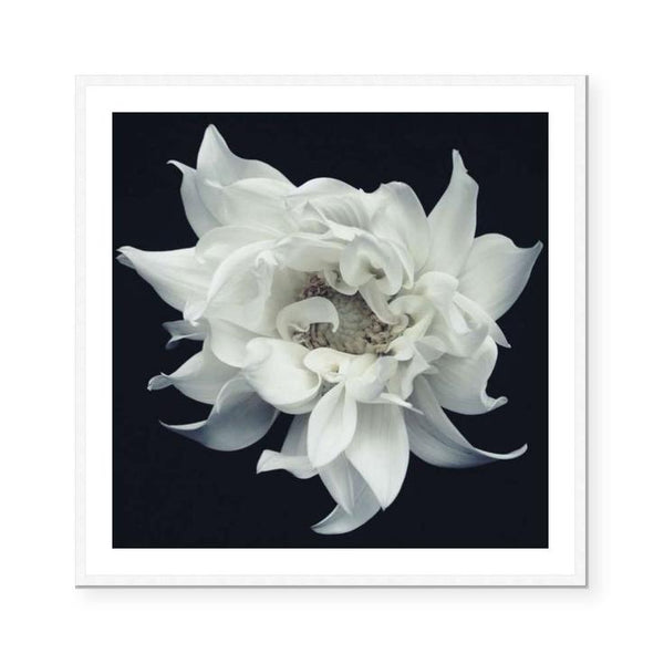 Dahlia II | Open Edition Art Print | Katie Clulow