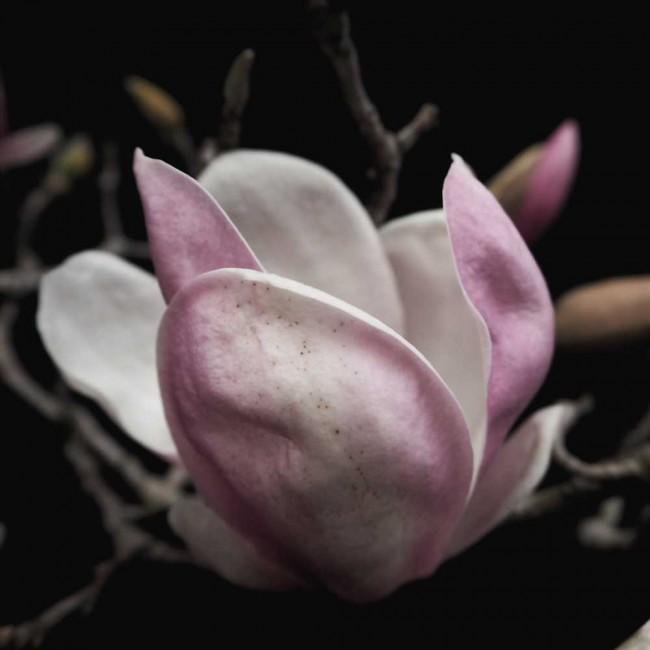 Magnolia Blush | Open Edition Art Print | Katie Clulow