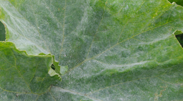 My Go To Organic Spray Recipe For Pest & Mildew Prevention