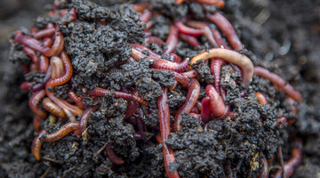 Tips For Buying Live Red Worms & Composting Worms Online