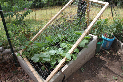 raised angled trellis with melons growing on it