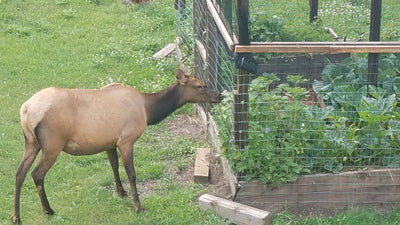 elk trying to eat my plants