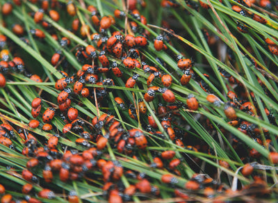 use ladybugs as a predator for pest insects