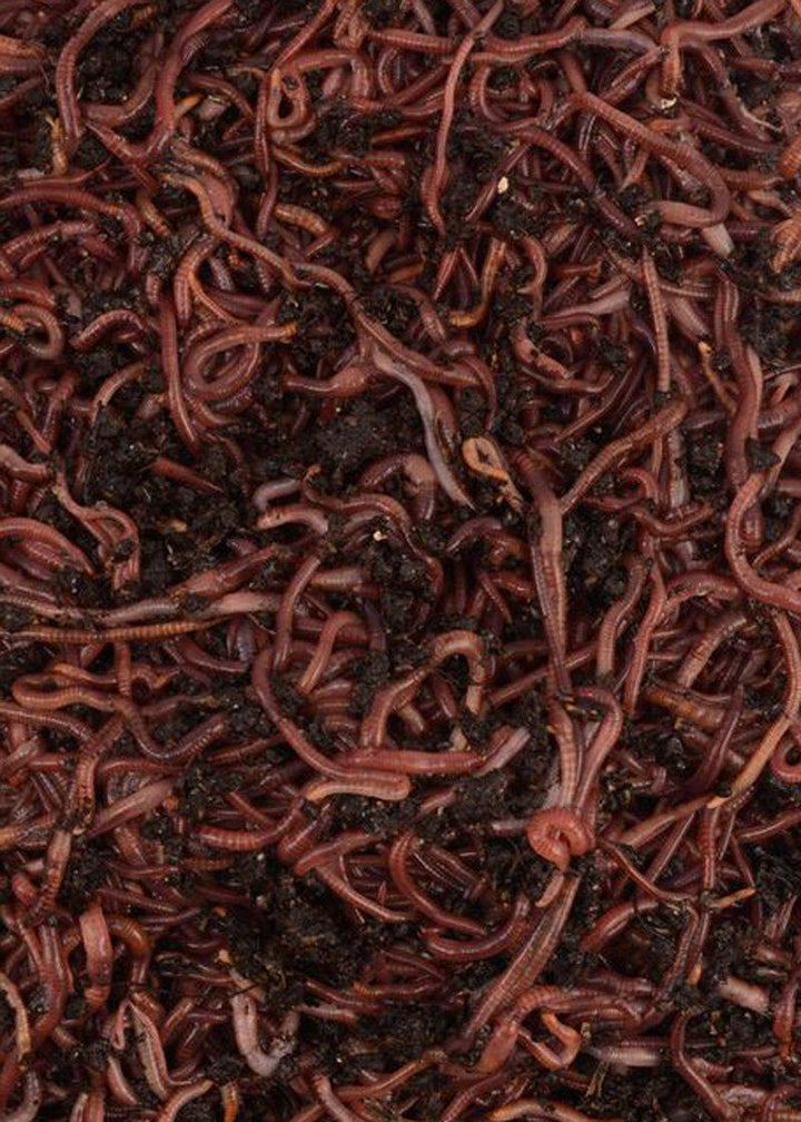 1000 Red Composting Worms - 1 pound