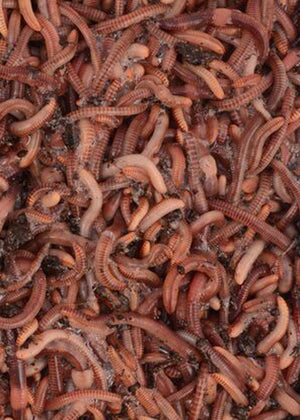 250 Super Red European Nightcrawler Composting Worms - 1/4 Pound