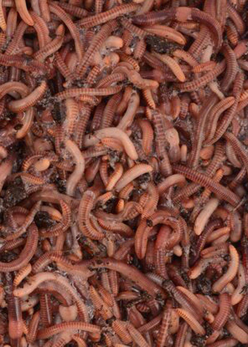 2000 Super Red European Nightcrawler Composting Worms - 2 Pound