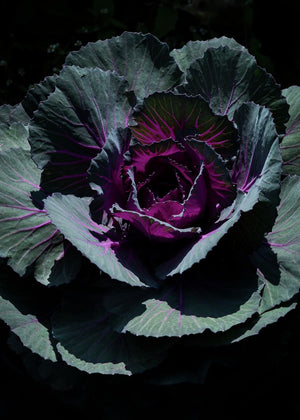 THE OTHER CABBAGE
