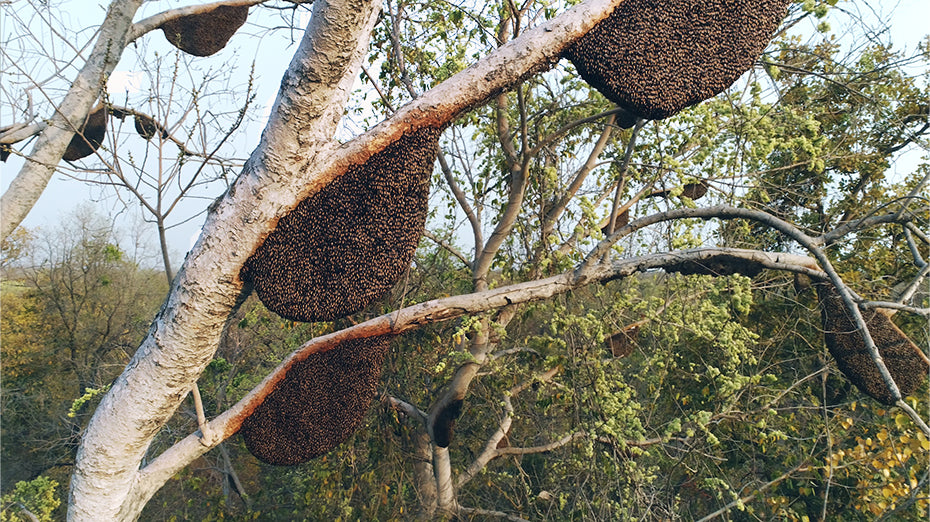 Natural bee hives in India