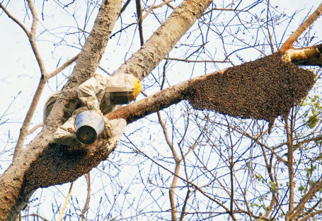 Indian Worker in Tree to work with Bee hive