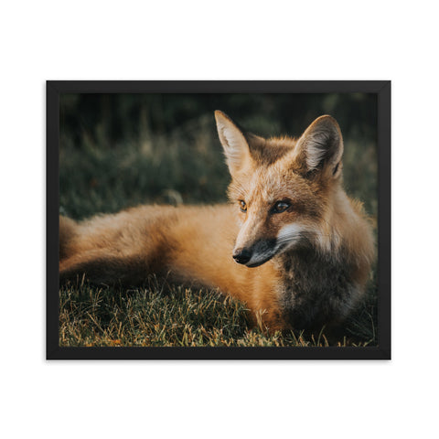 Tired Fox // Framed poster