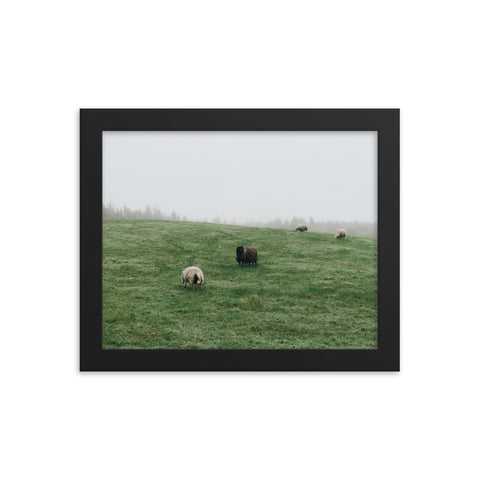 Downeast Maine Sheep Framed poster
