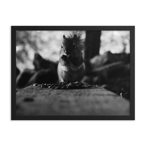 Red Squirrel Feasting // Framed poster
