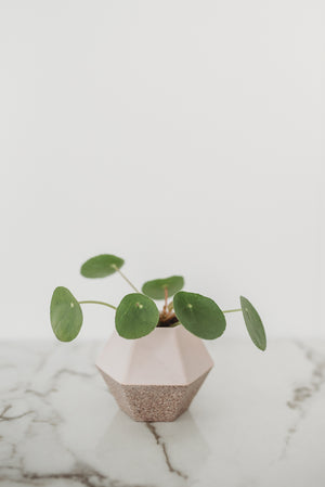 Mini Money Plant - Indirect Bright Light