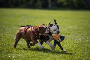 two bulldogs running, one with a Donald Trump parody dog toy in their mouth