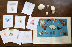Seashells- Fact Cards