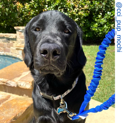 Black dog, black retriever ,  blue only leash ,  Short bungee leash, agility leash, bungee training leash, short training leash, short leash for dog training, dog leash with loop, traffic leash, bungee loop, loop leash , leash handle, tab dog leash, short