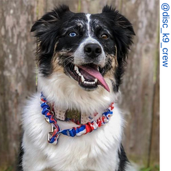 Aussie dog, maroon only leash, Pit bull dog, blue eye dog, rainbow only leash, rainbow tie dye only leash,  Border collie dog, Aussie dog, America camo only leash, red white and blue leash, red white and blue only leash, patriot leash, Short bungee leash,