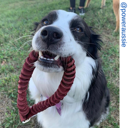 Aussie dog, maroon only leash, Short bungee leash, agility leash, bungee training leash, short training leash, short leash for dog training, dog leash with loop, traffic leash, bungee loop, loop leash , leash handle, tab dog leash, short leash handle, sho