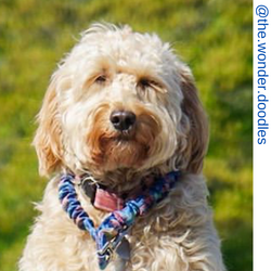Golden doodle dog, berry only leash, only leash, leash,  Short bungee leash, agility leash, bungee training leash, short training leash, short leash for dog training, dog leash with loop, traffic leash, bungee loop, loop leash , leash handle, tab dog leas