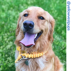 Golden retriever, yellow only leash, Short bungee leash, agility leash, bungee training leash, short training leash, short leash for dog training, dog leash with loop, traffic leash, bungee loop, loop leash , leash handle, tab dog leash, short leash handl
