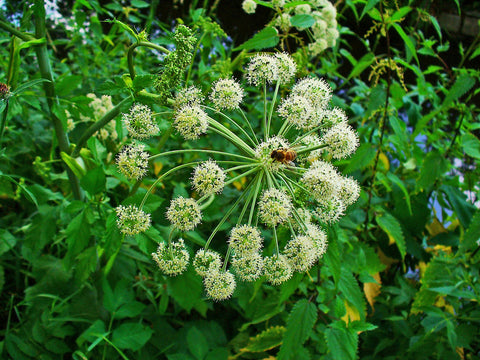 Angelica Root  - Angelica Archangelica
