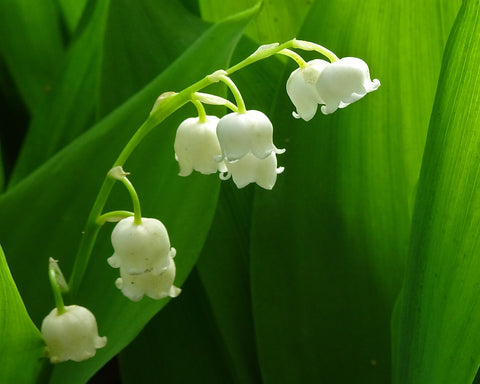 Fresh and floral Lilly of the Valley Fragrance oil.