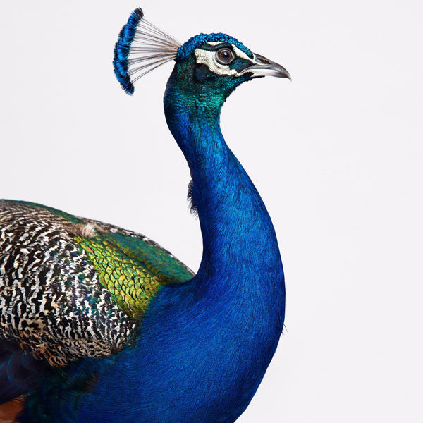 Blue Peacock by Randal Ford, Digital Print, 2018