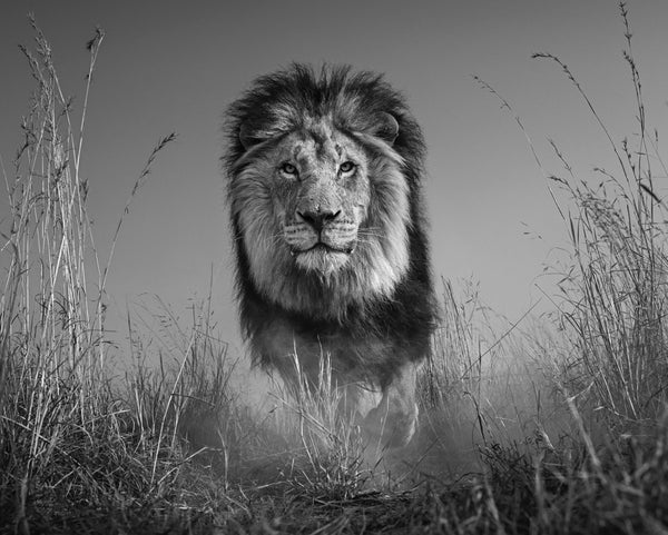 The King and I by David Yarrow, Digital Print, 2016